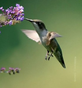 Atraer colibríes al jardín