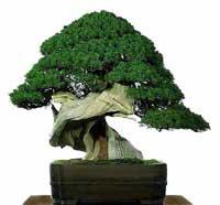 Transplantar un bonsái