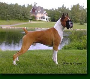 Perros raza Boxer