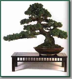 Bonsai secretos para su cuidado - Cuidado del bonsai ...