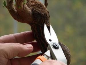 Podando el bonsái