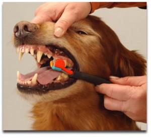 Cepillando los dientes de su perro