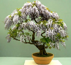 Las semillas de los bonsai