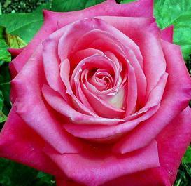 El cultivo de las rosas salvajes
