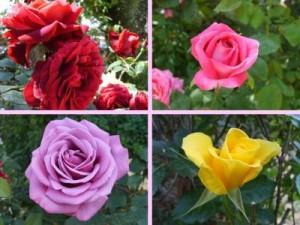 Jardinería de rosas