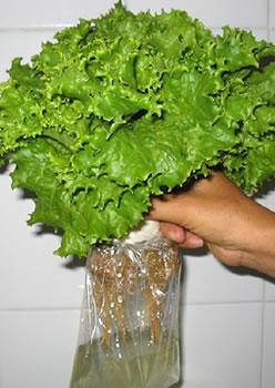 Como cultivar lechugas en hidroponia